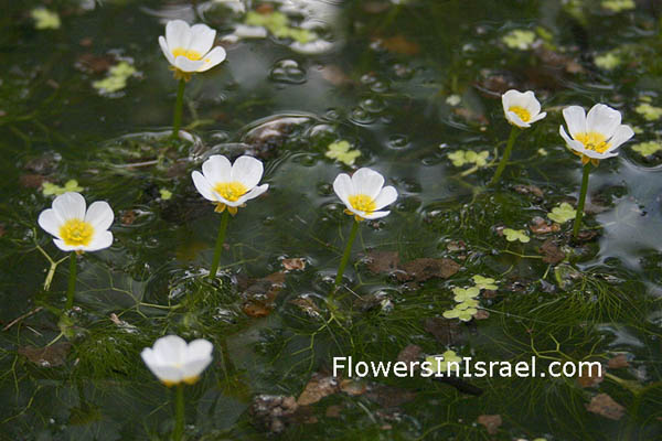 Ranunculus aquatilis, Ranunculus peltatus, Common Water-Crowfoot, נורית המים,الحوذان المائي