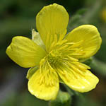 Ranunculus millefolius, Israel, Pictures of Yellow flowers