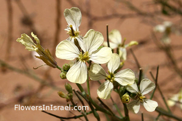 Raphanus raphanistrum, Sea-Radish, White Charlock, Wild Radish, Jointed Charlock, فجل  برى, צנון מצוי