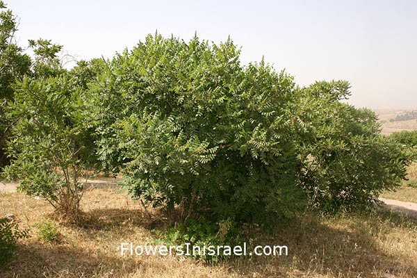 Israel Native plants, Palestine