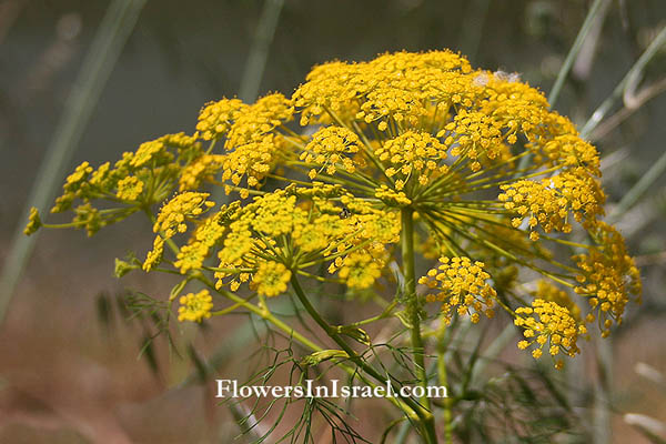 Ridolfia segetum, Carum ridolfia,Corn parsley, False fennel, False caraway, Goldspray, נירית הקמה