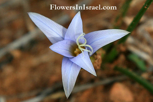 Israel, Nature, Travel, Wildflowers