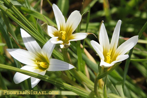 National, Native and other Popular Flowers of Israel