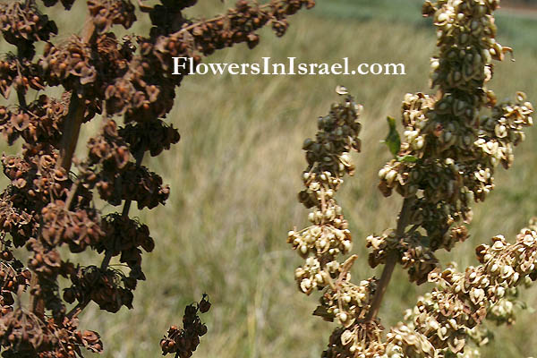 Indigenous flowers of Israel