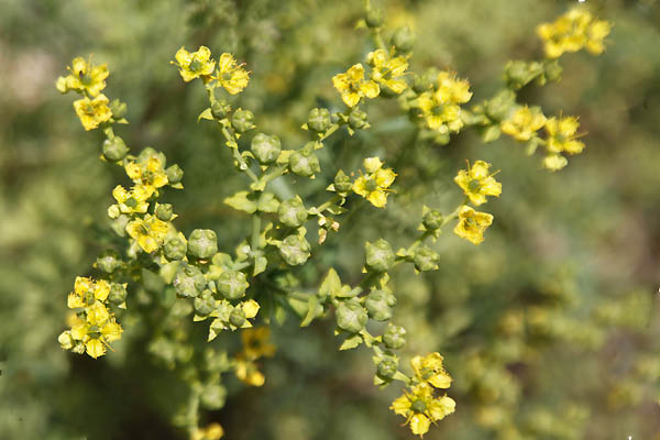 Ruta chalepensis,Ruta bracteosa, Fringed rue,Citronelle Marron, Egyptian Rue,Ruda,herb-of-grace,פיגם מצוי