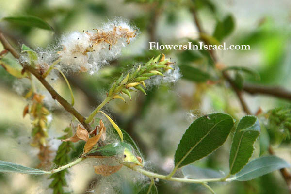 Salix alba, White willow, Swallow tailed willow, ערבה לבנה ,الصفصاف الأبيض