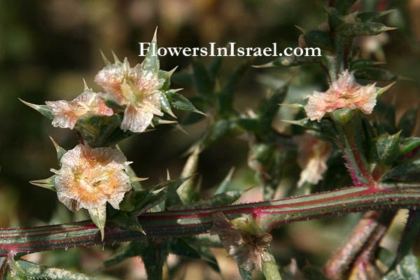 Israeli,wildflowers, Salsola kali, Prickly saltwort, Prickly glasswort, מלחית אשלגנית