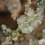 Salsola vermiculata, Israel, Flowers, Pictures