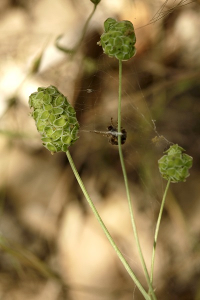 Sanguisorba minor, Poterium sanguisorba, Small burnet, Salad burnet, Garden burnet, בן-סירה מיובל,  مرقئة صغيرة
