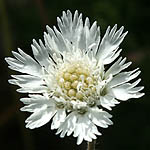 Scabiosa palaestina, Israel, Flowers, Pictures