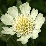 Scabiosa prolifera, Israel, Flowers, Pictures