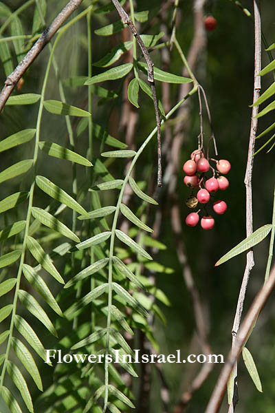 Schinus molle, Peppercorn Tree, Californian pepper, Peruvian mastic tree, الفلفل البيروفي, פלפלון רך