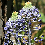 Scilla hyacinthoides, Israel, Flowers, Pictures