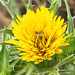 Scolymus maculatus, Israel, Pictures of Yellow flowers