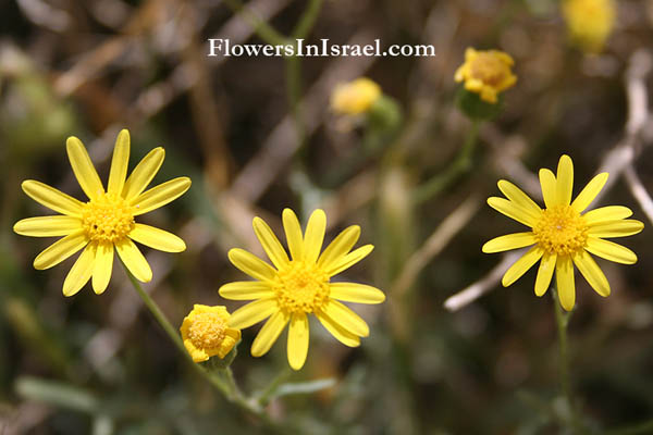 The WildFlowers of Israel, Send Flowers