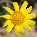 Senecio joppensis, Israel, Pictures of Yellow flowers