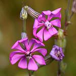 Silene colorata, Israel, Flowers, Pictures