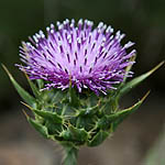 Silybum marianum, Israel, wild purple flowers