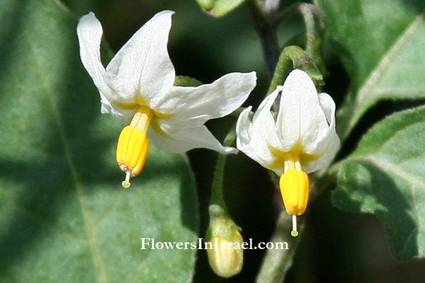 Solanum nigrum, Black nightshade, Common nightshade, Hound's berry, عنب الذيب الأسود,סולנום שחור