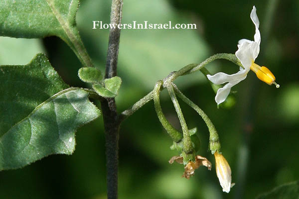 Solanum nigrum, Black nightshade, Common nightshade, Hound's berry, عنب الديب ,סולנום שחור