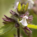 Stachys arvensis,Glechoma arvensis, Israel, Flowers, Pictures
