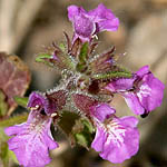 Stachys neurocalycina, Israel, Flowers, Pictures