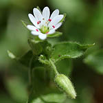 Stellaria cupaniana, Israel, Flowers, Pictures
