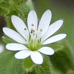 Stellaria media, Israel, Flowers, Pictures