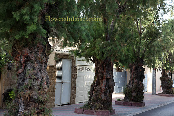 Trees of Israel, Native plants
