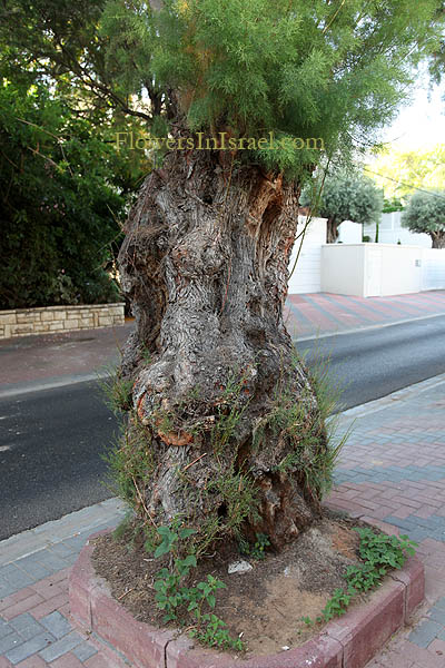 Trees of Israel, Native plants, Palestine