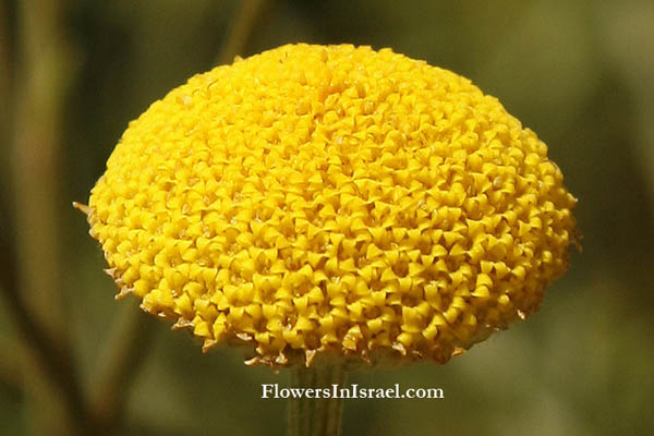 Flora, Israel, flowers, native plants. Plant family