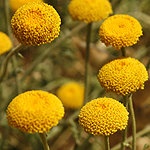 Tanacetum aucheri, Israel Yellow wildflowers
