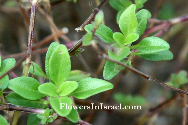 Native plants of Israel