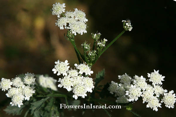 Israel native plants