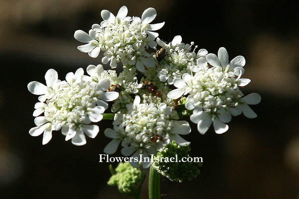 Israel native plants, Send flowers online