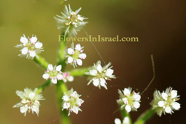 Torilis tenella, Caucalis tenella, Hedge-parsley, גזיר דקיק, גזרזור דקיק