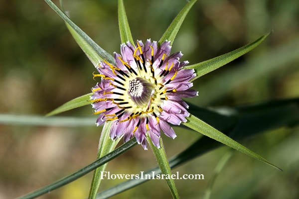 Israel flowers, native plants, Palestine, Botany
