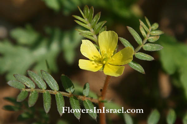 Tribulus terrestris, Puncturevine, Caltrop, Cathead, Yellow vine,جريس, Goathead, קוטב מצוי