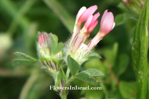 Israel native plants, Flora, Palestine, Trifolium pauciflorum, Few-flower clover, תלתן דל-פרחים, النفل قليل الأزهار