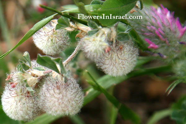 Trifolium pilulare, Ball cotton clover, תלתן הכדורים