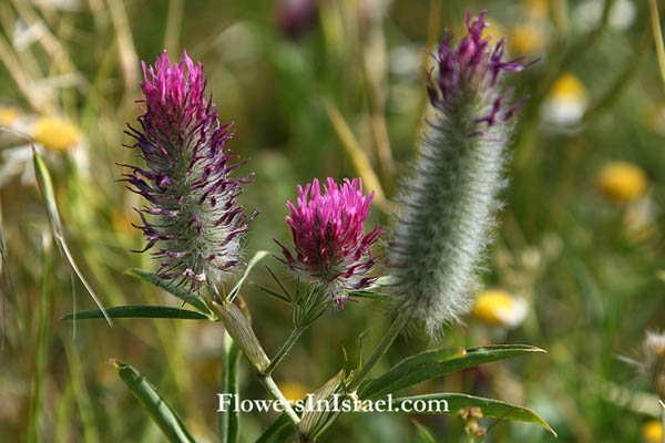 Flora of Israel online, Native plants, Nature, Palestine