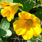 Tropaeolum majus, Israel, Orange Flowers