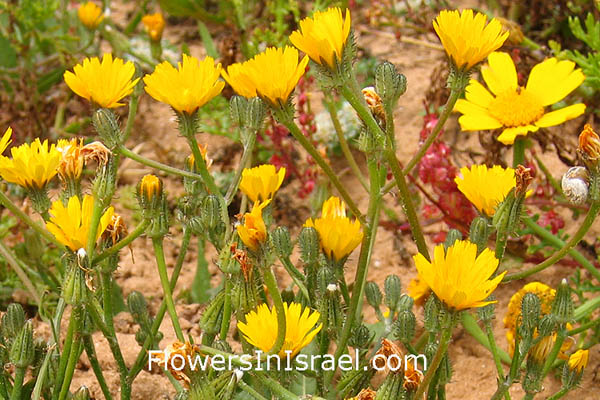 Urospermum picroides, Tragopogon picroides, Prickly goldenfleece, Prickly cupped Goat's Beard, אזנב מצוי