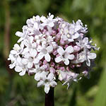 Valeriana dioscoridis, Israel, Wildflowers, Native Plants