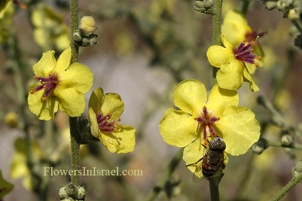 Verbascum sinuatum, Scallop-Leaved Mullein, בוצין מפורץ, عورور