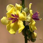 Verbascum sinuatum, Israel, Wildflowers, Native Plants