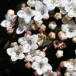 Viburnum tinus, Israel, Wildflowers, Native Plants