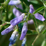 Vicia palaestia, Israel, Wildflowers, Native Plants