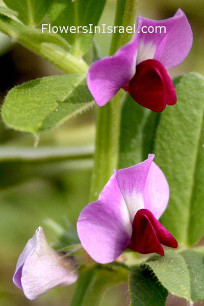 Vicia sativa, Vicia angustifolia, Common Vetch, בקיה תרבותית