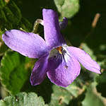 Viola odorata, Israel, Wildflowers, Native Plants